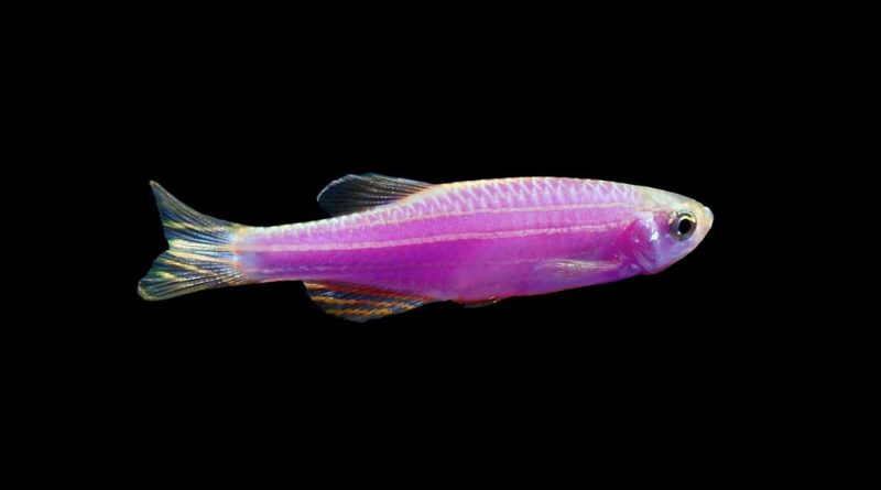 Top 13 advantages of using Zebrafish in the research field