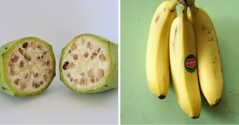 Bananas before Genetic Modification